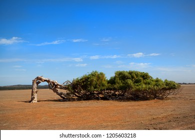 A leaning and bent over tree that has adapted to the windy conditions of South Australia and is growing sideways