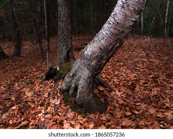 A leaning birch tree in the woods near Jacobs Hill in Royalston Massachusetts in the late autumn.