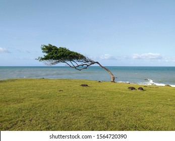 Leaning tree in front of the sea in Guadeloupe, a french overseas department in the Antilles. Pointe Allegre beach near Sainte Rose in the Caribbean