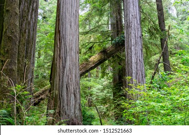 Leaning Tree in Massive Redwood Forest in Northern California - Jedediah Smith Redwoods State Park, California, USA