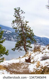 A leaning tree over the edge in Vernon BC