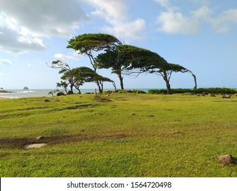 Leaning trees in front of the sea in Guadeloupe, a french overseas department in the Antilles. Pointe Allegre beach near Sainte Rose in the Caribbean
