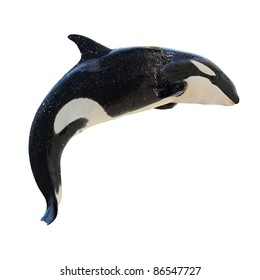 A leaping Killer Whale, Orca Orcinus, isolated on white
