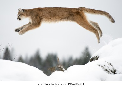 A Leaping Mountain Lion over the snow