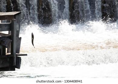 Leaping salmon during the salmon run in Leland Michigan