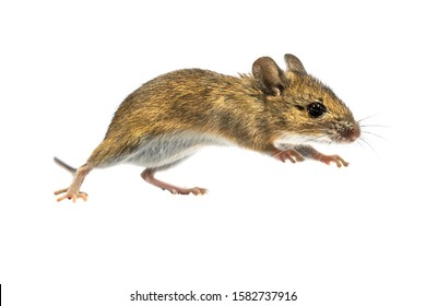 Leaping Wood mouse (Apodemus sylvaticus) isolated on white background. This cute looking mouse is found across most of Europe and is a very common and widespread species.