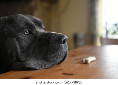 Learning patience and self control: Cane Corso dog looking past biscuit on dining room kitchen table, obedience training and waiting for treats.
