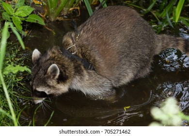 A leashed Raccoon sniffles in water to find some interesting things.
