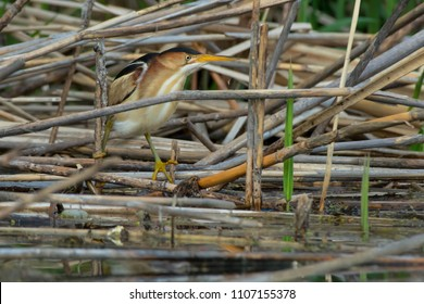 Least Bittern slowly moving among the dead reeds, looking for a fish to eat. Colonel Samuel Smith Park, Toronto, Ontario, Canada.