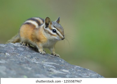 Least Chipmunk atop a rock isolated against a blurred out natural background