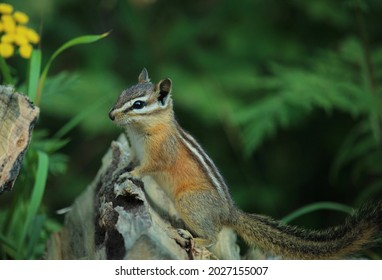 Least chipmunk on log with yellow flower