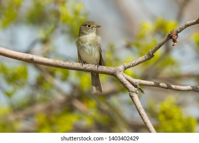 Least Flycatcher perched on a branch. Ashbridges Bay Park, Toronto, Ontario, Canada.