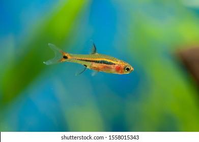 Least rasbora (Boraras urophthalmoides) in a mini aquarium