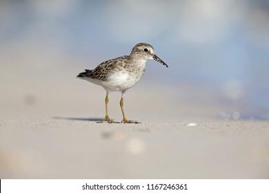 least sandpiper (Calidris minutilla) foraging on the beach of Key West.