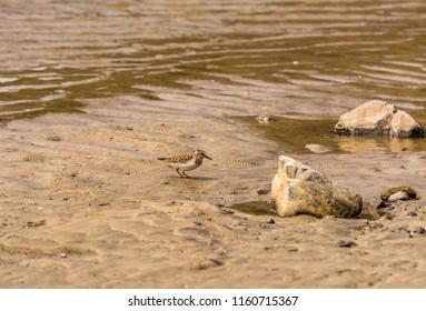 Least sandpiper (Calidris minutilla) on sandy beach near creek at Agate Beach, Newport, Oregon.