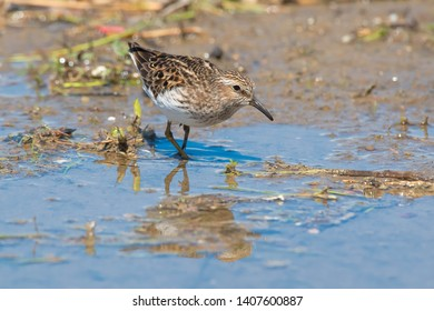 Least Sandpiper standing in shallow water. Ashbridges Bay Park, Toronto, Ontario, Canada.