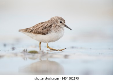 A Least Sandpiper walks in shallow water with its foot up in soft light with a smooth background.