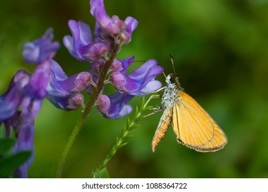 Least Skipper Butterfly collecting nectar from a Tufted Vetch flower. Todmorden Mills, Toronto, Ontario, Canada.