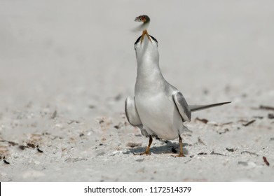 A least tern with a small bait fish in its yellow orange beak on the beach at Wiggins Pass, Florida.