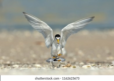Least terns in a mating ritual with a fish on a sandbar in Wiggins Pass Florida.