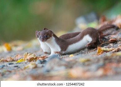 The least weasel (Mustela nivalis) is the smallest member of the genus Mustela and of the family Mustelidae.