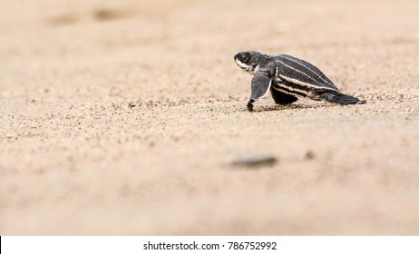 Leather back turtle heads to the water after hatching.