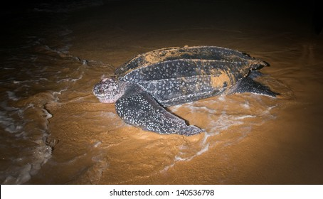Leatherback Sea Turtle  (Dermochelys coriacea)  laying eggs after returning to the ocean