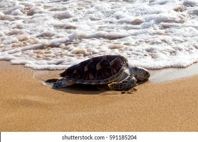 Leatherback sea turtle release