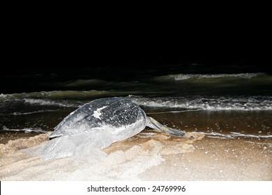 Leatherback Sea Turtle6