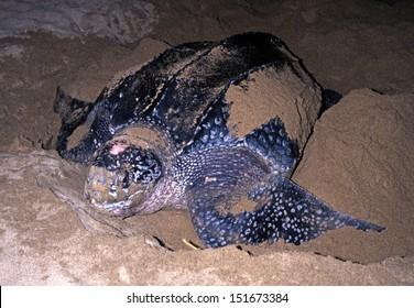 Leatherback Turtle laying eggs on Grafton beach, Tobago, Trinidad and Tobago, Caribbean, West Indies