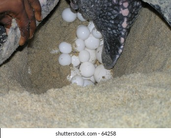 A leatherback turtle laying her eggs on a Trinidad beach.