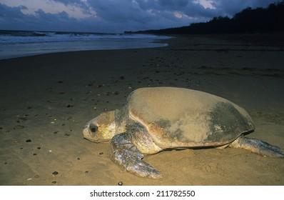 Leatherback Turtle on beach