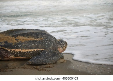 Leatherback Turtle on its way out to sea after laying her eggs.