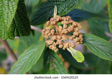 Leatherleaf Viburnum, Detail. Blossom in Spring