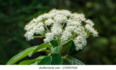 Leatherleaf viburnum (Viburnum rhytidophyllum Alleghany) white flowers in spring garden. Beautiful blossom on dark green background. Place for your text. Selective focus. Nature concept for  design