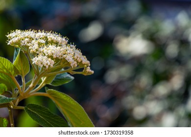 Leatherleaf viburnum (Viburnum rhytidophyllum Alleghany) white flowers in spring garden. Beautiful blossom on bokeh background. Place for your text. Selective focus. Nature concept for design