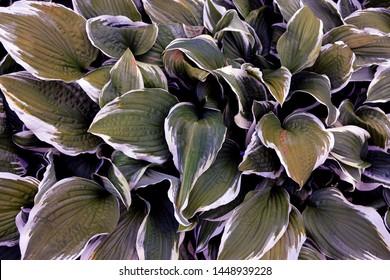 Leave of hosta, foliage of hosta background