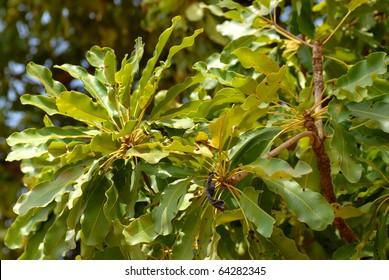 leave of the karit tree