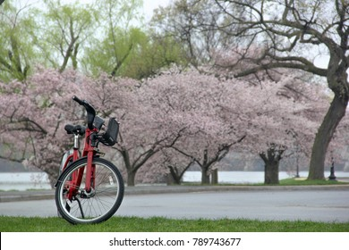 Leave the red bike under the cherry blossom tree.