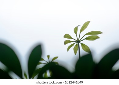 Green leave of the Schefflera arboricola, Dwarf Umbrella