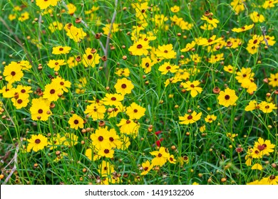 Leavenworth's tickseed (Coreopsis leavenworthii) yellow flowers - Davie, Florida, USA