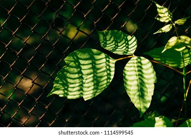 Leaves of acer negundo on background of grid fence is closeup. Shadow from mesh on maple leaf in macro.