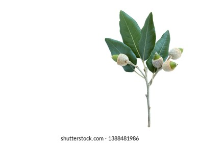 Leaves and Acorns of the Holm Oak (Quercus ilex) isolated on a white background.space for your text