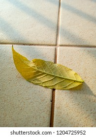 Leaves of African tulip tree, Fire bell, Fouain tree, Flame of the Forest on tiles ground