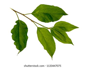 Leaves of apple. Apple tree branch. Young, green apple tree leaves. Leaves on a white background, isolate Material for design.