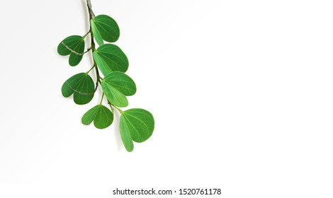 The leaves of the Apta tree, whose scientific name is Bauhinia racemosa, play a significant part during Dussehra celebration in India. Isolated branch of Apte leaves on white background.