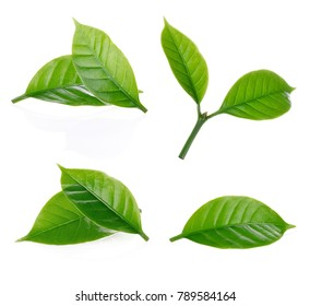leaves of arabica coffee isolated on white background.