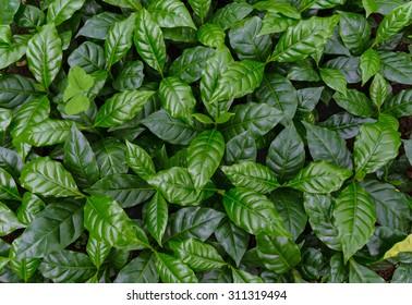 leaves of arabica coffee tree nursery plantation.