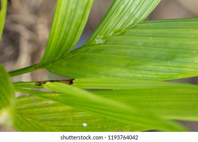 Leaves Areca catechu tree