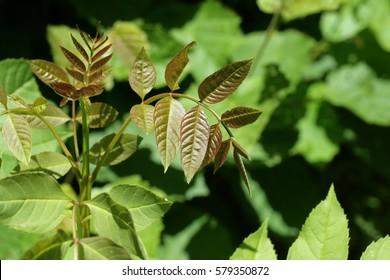 Leaves of ash in spring , Fraxinus excelsior
